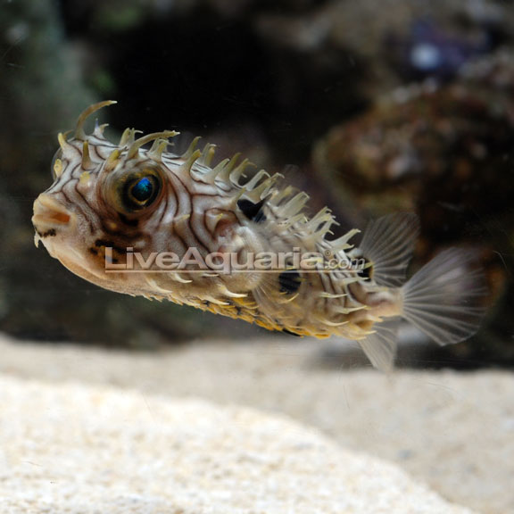 Spiny box puffer for How much is a puffer fish