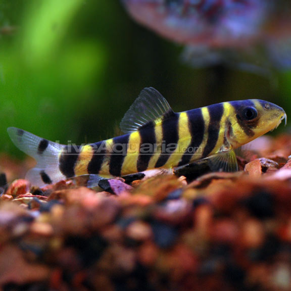 Dario botia loach for Big freshwater aquarium fish