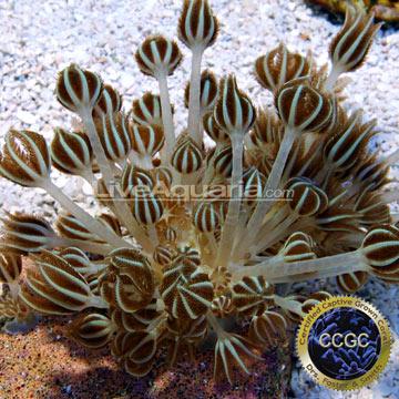 Saltwater Aquarium Corals for Marine Reef Aquariums: Silver Branch ...