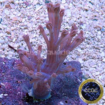 Saltwater Aquarium Corals for Marine Reef Aquariums: Blue Cespitularia ...