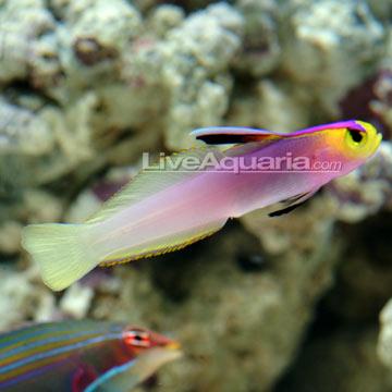dartfish purple dartfish arrow dartfish scissortail dartfish helfrich ...