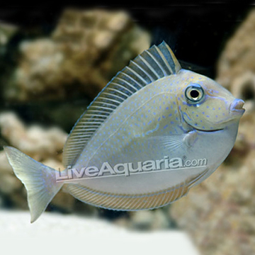 Type of tang tropical fish forums for Jans tropical fish