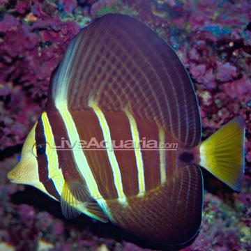 Saltwater aquarium fish for marine aquariums sailfin tang for Tang saltwater fish